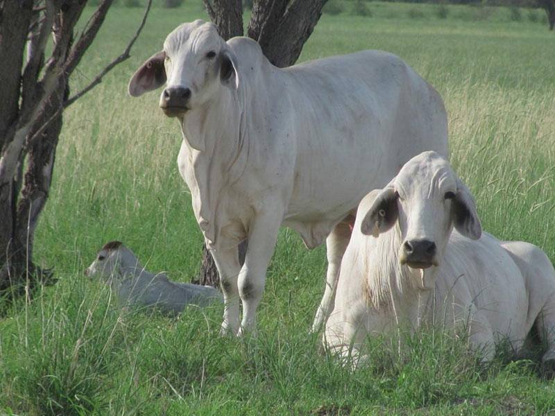 Halls Brahmans. 3 Generations of females.