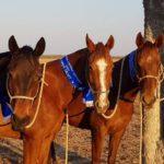 Playrio winning mares at Barcaldine. Eltorrio, Santa Rio & Privilege.